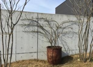 五泉市 ㈱吉田印刷所様のバラの剪定、誘引作業へ