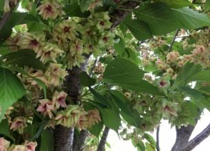 五泉市 お庭外構工事OB訪問 緑の桜「御衣黄桜」とオリジナルパーゴラのモッコウバラ